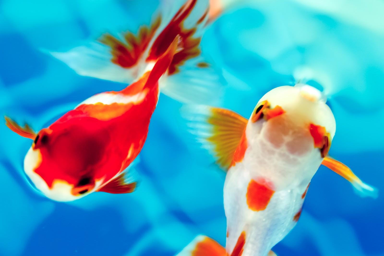 【金魚の鑑賞方】夏の風物詩「金魚」のあれこれ【武士の副業から始まった!?】