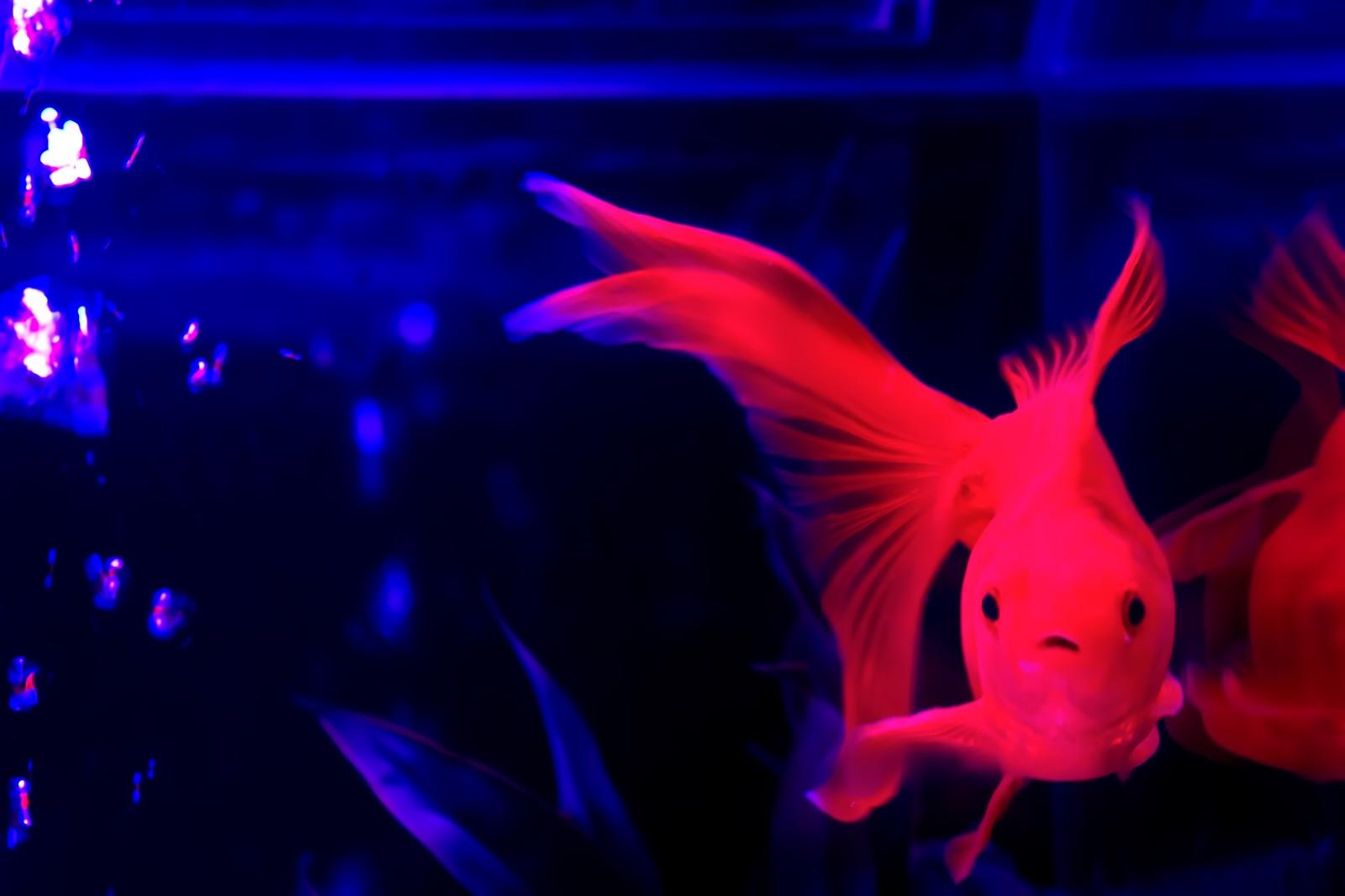【全国大会から】この夏行きたい金魚イベント4選【関東アクアリウムまで】